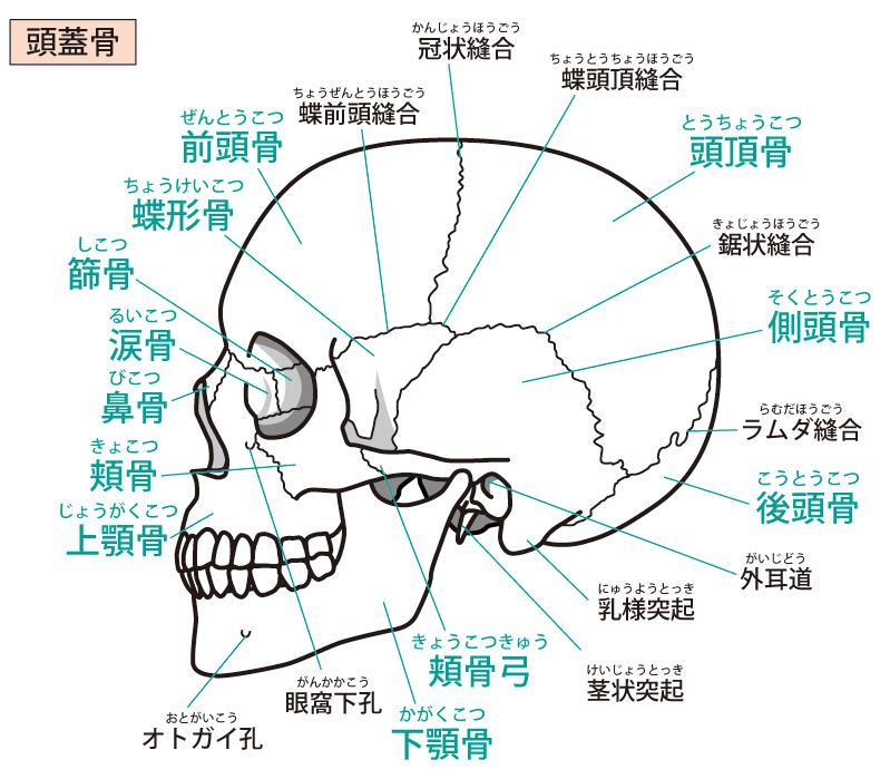 頭蓋骨調整(クレニオセラピー)とは?
